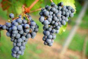 La uva Tannat encontró excelente terruño